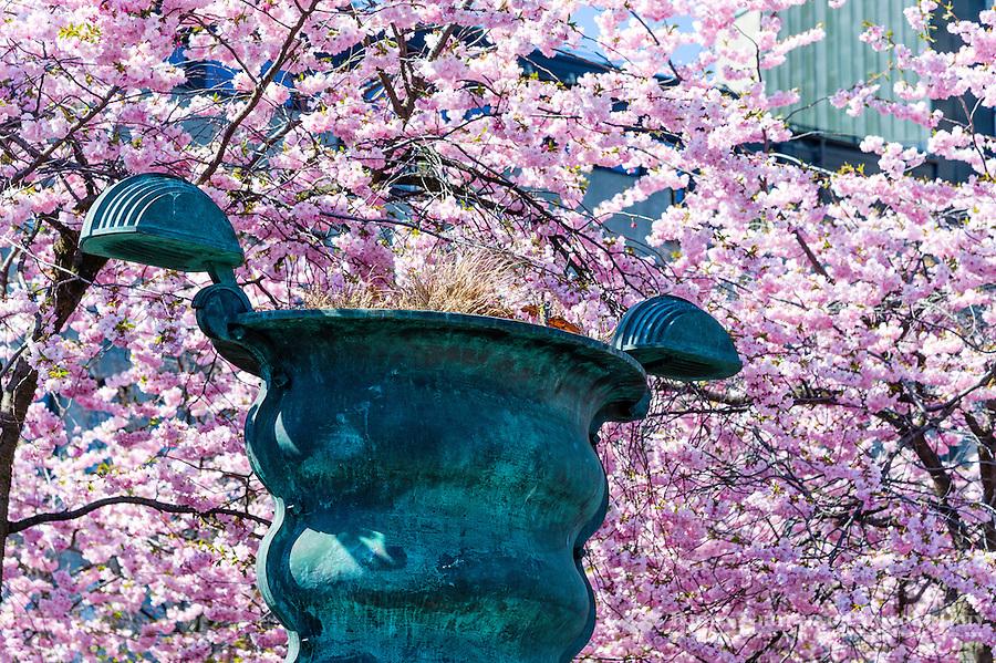 Sweden, Stockholm. Cherry blossom in Kungsträdgården.