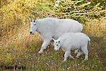 Mountain goat nanny and kid. Glacier National Park, Montana.