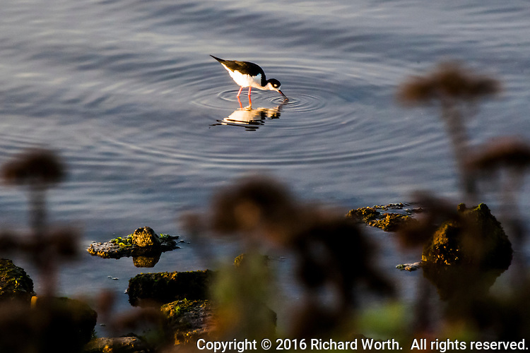A Black-necked stilt pokes and prods the waters of San Leandro Bay in search of food - looking for dinner at Martin Luther King Jr. Regional Shoreline.