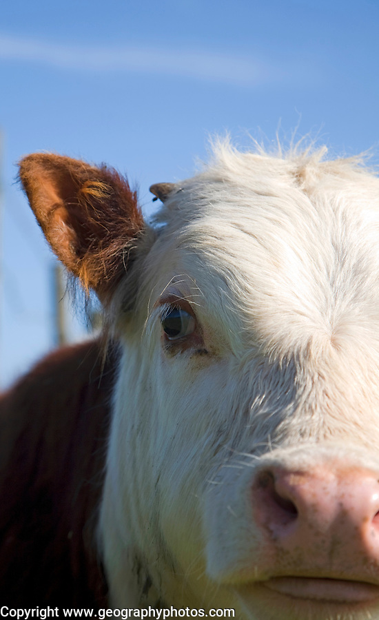 Close up of face and nose herd of pure Hereford cattle at Boyton marshes, Suffolk, England