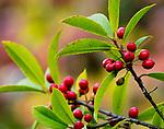 Holly (Ilex sp.), Washington Park Arboretum, Seattle, Washington, USA<br /> <br /> Canon EOS 5DS R, EF100-400mm f/4.5-5.6L IS II USM lens, f/16 for 1/20 second, ISO 400