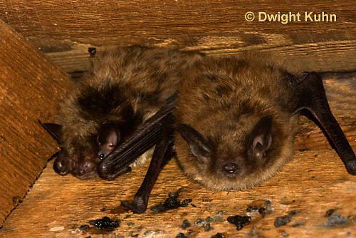 MA20-536z  Little Brown Bats, Myotis lucifugus