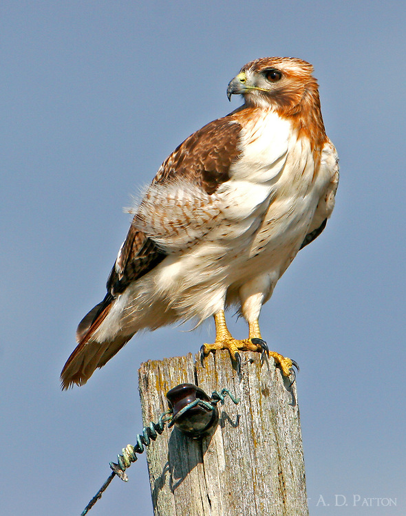Adult red-tailed hawk on pole
