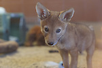 Male coyote pup at rehabilitation center.  Living Desert