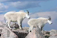 Mountain Goat (Oreamnos americanus). This herd was grazing at an elevation 13,700 ft. near the summit of Mount Evans. Arapaho National Forest. Clear Creek Co., Colo.