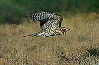 537410004 a captive juvenile northern goshawk accipiter gentillis in flight over an open field of dead grasses in central colorado