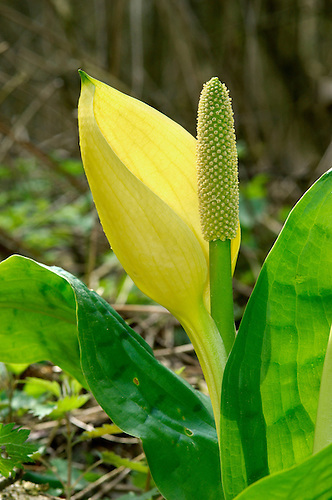 American Skunk Cabbage Lysichiton americanus Height to 15cm Perennial member of Arum family. Smells strongly of 'skunk' when in flower. Leaves are up to 80cm long, broad and inrolled at first. Flower comprise a bright yellow spathe and spike-like green spadix. Status Introduced to Britain from North America (mainly as a naturalised garden escape). Now widespread but local in damp woodland.