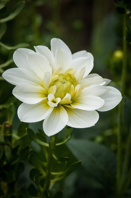 Dahlia 'Blanc y Verde', late August.