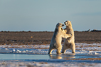Sub-adult male Polar Bears (Ursus maritimus) sparring. These guys aren't fully grown but are still big and these battles can get heated. However they are not seriously fighting and they seem to be establishing dominance at most. When they get up on their hind legs their size and power become evident.