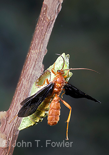 Parasitic ichneumon wasp emerging from black swallowtail butterfly pupal case