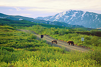 Mated pair of grizzly bears, Denali National Park, Alaska