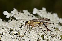Deutsche Skorpionsfliege, Männchen, Blütenbesuch, Panorpa germanica, scorpionfly, scorpion fly, Skorpionsfliegen, Panorpidae, scorpionflies