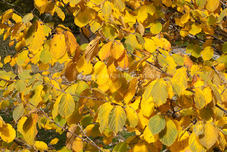 Hamamelis x intermedia 'Pallida' (AGM) in autumn fall foliage color witch hazel