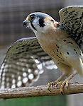 A male American kestrel at the TreeHouse Wildlife Center.