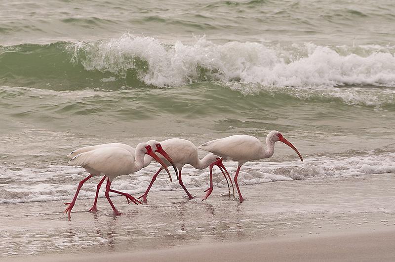 Ibis<br /> Naples, Florida