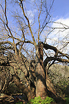 Golan Heights, Mulberry tree in Ein Kef