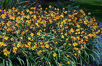 Hemerocallis Golden Chimes, daylilies with golden yellow trumpets and red striped undersides, blooms massively with smaller flowers