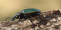 """The """"Caterpillar Hunter or Fiery Searcher"""" is among North America's most attractive native insects/beetles."""