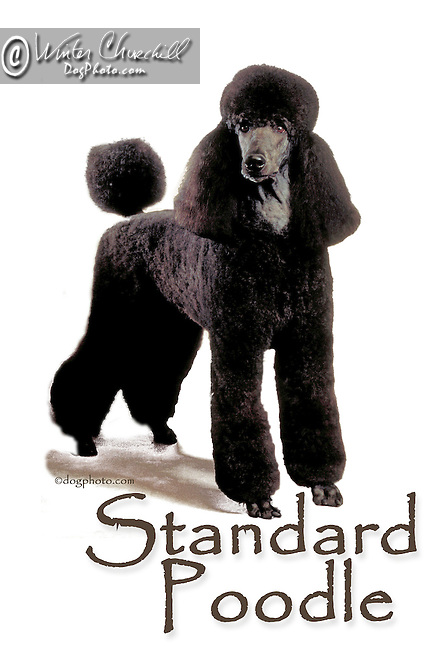 Poodle This design is offered on gift merchandise ONLY.<br /> <br /> You'll find all the merchandise options listed IN THE CART so add a design to your shopping cart first. All merchandise item are shipped straight to you from our lab in Dallas, Tx.
