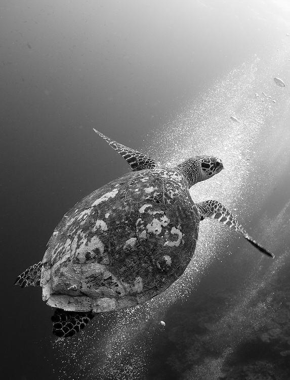Hawksbill turtle (Eretmochelys imbricata) ascending aganist a colony of bubbles, Fathers reefs, Kimbe Bay