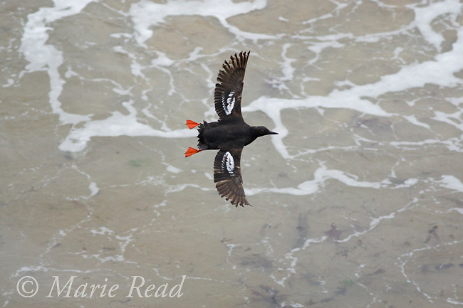 Pigeon Guillemot (Cepphus columba), in flight, Santa Cruz, California, USA. Note feather-wear on wing tips of this individual in late summer.