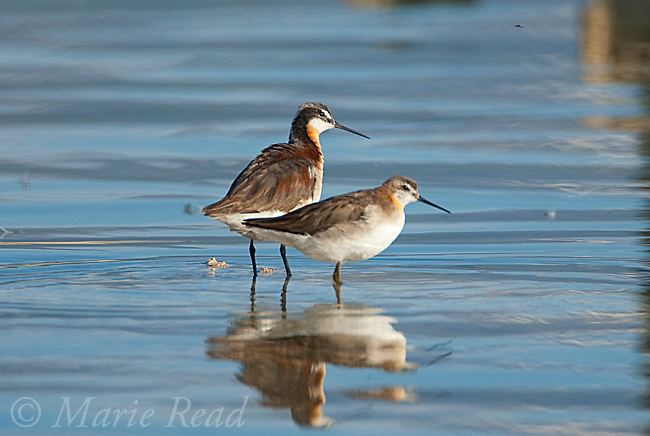Wilson's Phalaropes (Phalaropus tricolor), female in breeding plumage behind, male in transitional plumage (note yellowish legs) in front, Mono Lake, California, USA