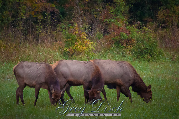 Arkansas cow elk at Steel Creek campground on the Buffalo National River in the fall during the rut or mating season.