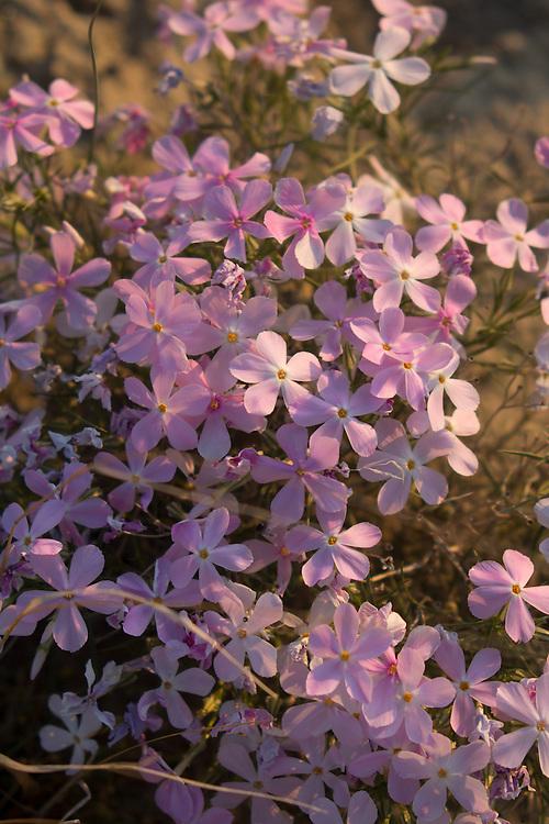 Hanford Reach National Monument, Wahluke Slope, shrub steppe habitat, grassland, flowers, Phlox diffusa, Columbia Basin, eastern Washington, Washington State, Pacific Northwest, USA, North America,