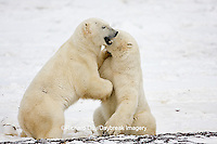 01874-11309 Polar Bears (Ursus maritimus) sparring, Churchill Wildlife Management Area MB