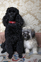 A miniature poodle named Rugby, left, and Havanese named Piper belonging to Ellen Crown pose for a portrait in her apartment on the Upper East Side of Manhattan on April 5, 2011. ..Danny Ghitis for The New York Times