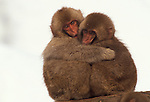Two Japanese macaque or snow monkeys keep each other warm in Jigokudani National Park, Japan