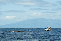 Whale watching, Pico, Azores, Portugal