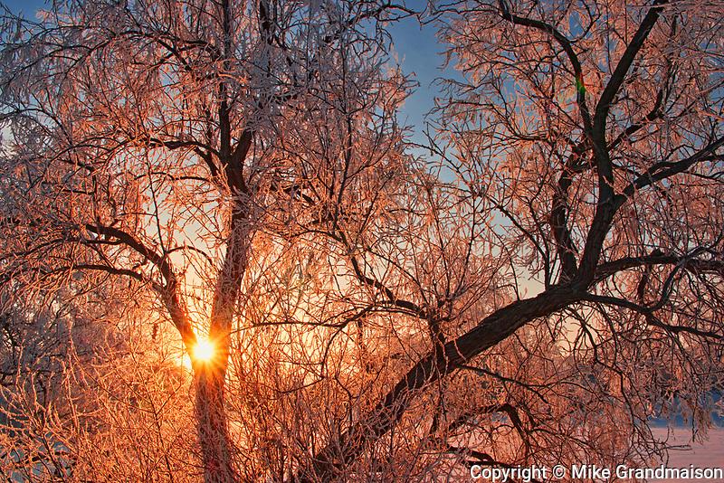 Horafrost on Manitoba maple tree at sunrise with hoarfrost, Winnipeg, Manitoba, Canada