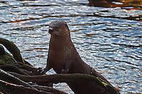 Europäischer Fischotter, Fisch-Otter, Otter, Lutra lutra, River Otter, Loutre