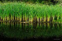 Cattails and pond