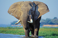 Old African Elephant bull (Loxodonta africana) feeding along edge of Zambezi River, Mana Pools National Park, Zimbabwe.