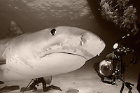 pk11235-D. Tiger Shark (Galeocerdo cuvier) and scuba diver (model released). Bahamas, Atlantic Ocean..Photo Copyright © Brandon Cole. All rights reserved worldwide.  www.brandoncole.com..This photo is NOT free. It is NOT in the public domain. This photo is a Copyrighted Work, registered with the US Copyright Office. .Rights to reproduction of photograph granted only upon payment in full of agreed upon licensing fee. Any use of this photo prior to such payment is an infringement of copyright and punishable by fines up to  $150,000 USD...Brandon Cole.MARINE PHOTOGRAPHY.http://www.brandoncole.com.email: brandoncole@msn.com.4917 N. Boeing Rd..Spokane Valley, WA  99206  USA.tel: 509-535-3489
