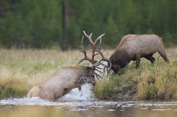 Elk, Wapiti, Cervus elaphus, bulls fighting at rivers edge,  Yellowstone NP,Wyoming, USA
