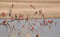 Carmine Bee-eater, Merops nubicoides- South Luangwa National Park, Zambia, bird, avian