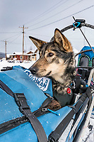 Cody Strathe's dog Neka rides in the basket as he checks into the Kaltag village checkpoint on Sunday afternoon March 11th during the 2018 Iditarod Sled Dog Race -- Alaska<br /> <br /> Photo by Jeff Schultz/SchultzPhoto.com  (C) 2018  ALL RIGHTS RESERVED