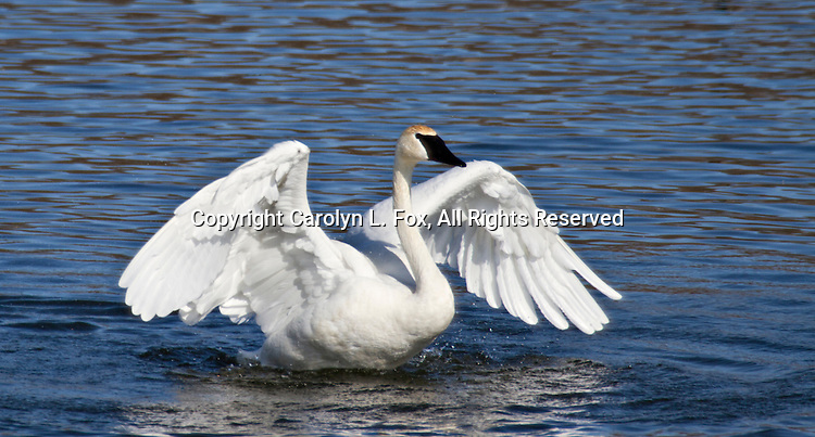 Trumpeter swan flaps its wings.
