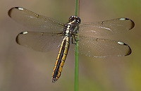 Spangled Skimmer (Libellula cyanea) Dragonfly - Female, Ward Pound Ridge Reservation, Cross River, Westchester County, New York