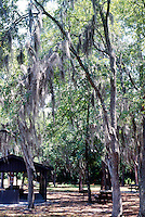 WETLANDS<br /> Spanish Moss In Okefenokee Swamp, Ga<br /> Spanish Moss is an epiphyte, it uses its host plant for support but is not parasitic.  It absorbs nutrients and water directly from the air through its roots and leaves.