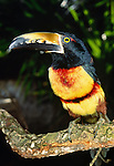 Collared Aracari, Belize