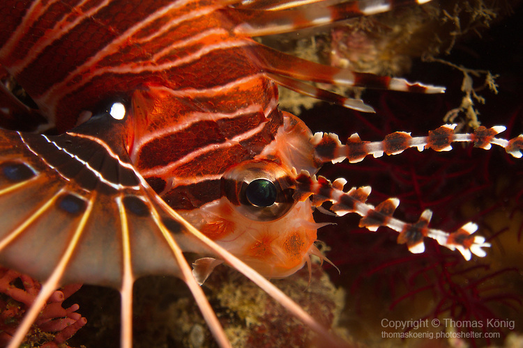 Kenting, Taiwan -- Close-up of a spotfin lionfish, Pterois antennata.