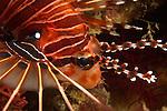 Kenting, Taiwan -- Close-up of a spotfin lionfish, Pterois antennata.