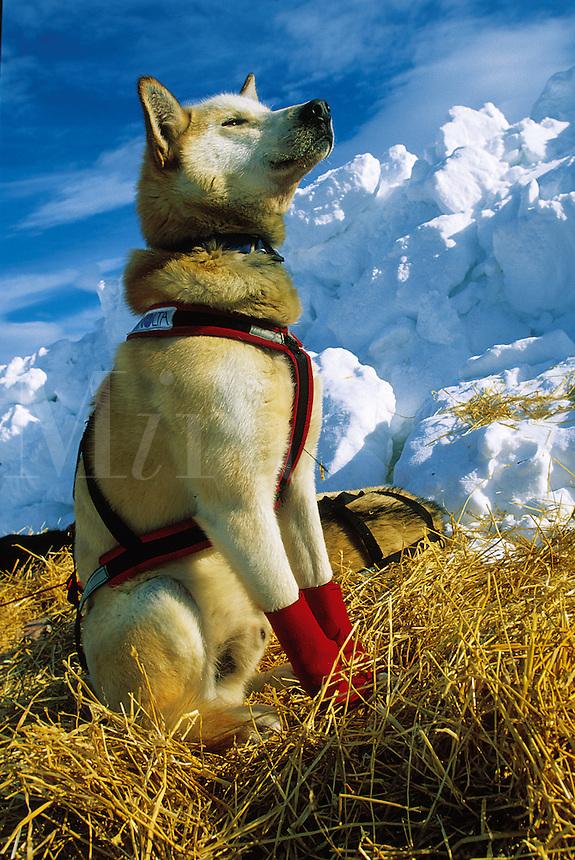 An alert Iditarod sled dog on its bed of hay. Alaska.