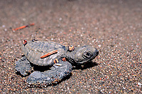 olive ridley sea turtle hatchling, Lepidochelys olivacea, Playa Ostional, Costa Rica, Pacific Ocean