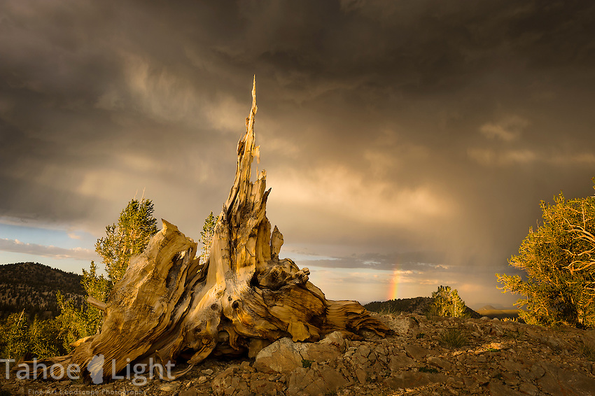 Bristlecone pine tree stump with rainbow during storm in the White Mountains just outside of Bishop, CA