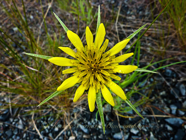 Yellow Salsify wildflower with raindrops
